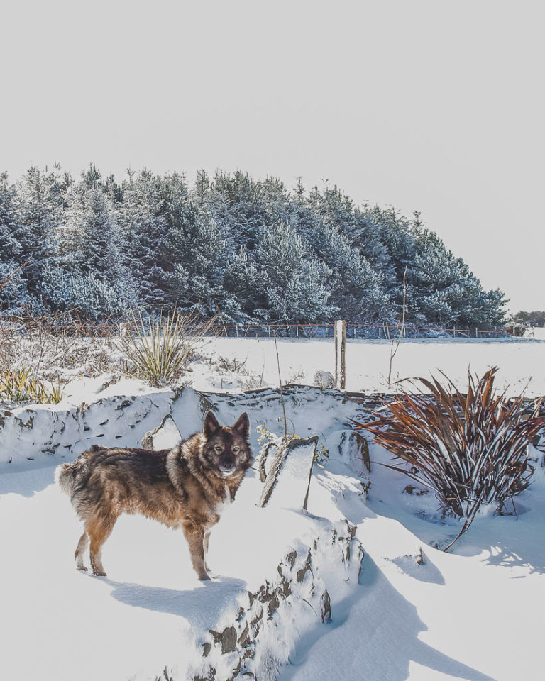 Buddy the Norwegian Elk-hound in the snow 11