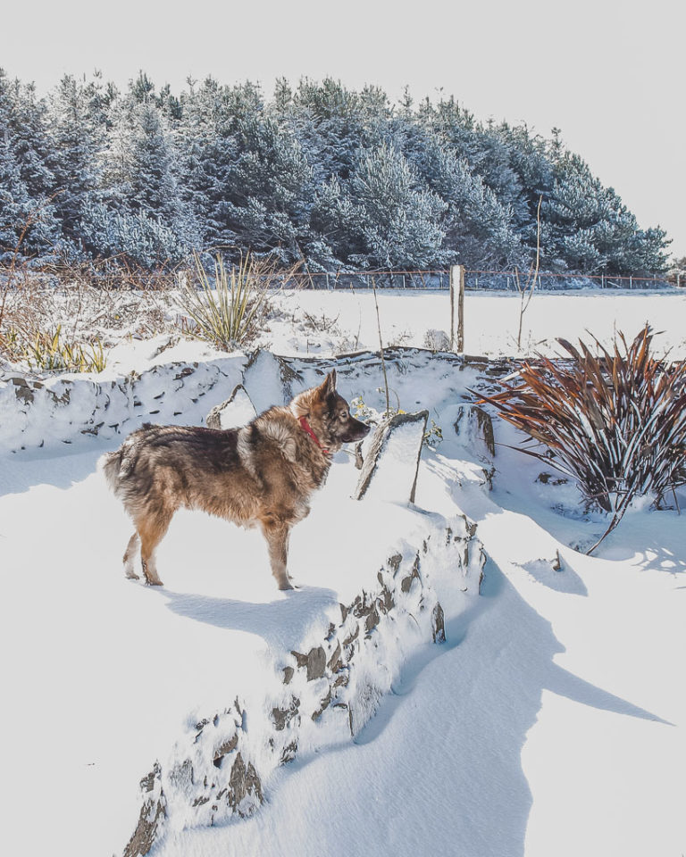 Buddy the Norwegian Elk-hound in the snow 10