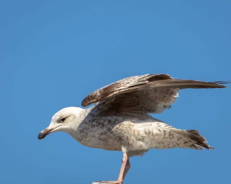 Close up of seagull at Schull West Cork 4