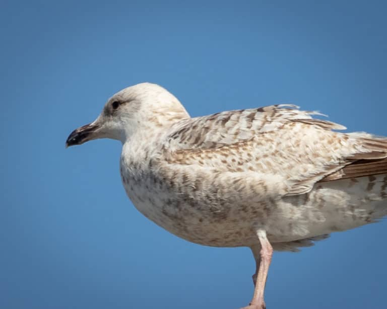 Close up of seagull at Schull West Cork 3