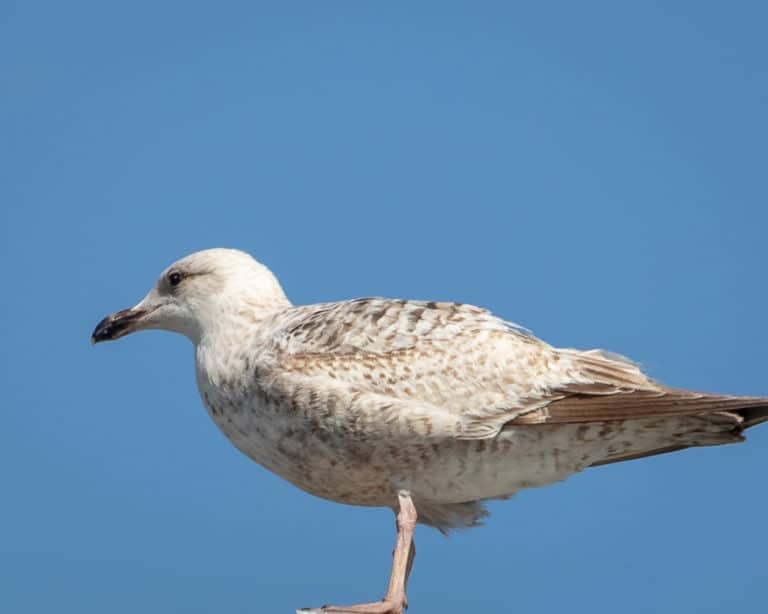 Close up of seagull at Schull West Cork 2