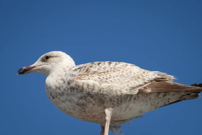 Close up of seagull at Schull West Cork