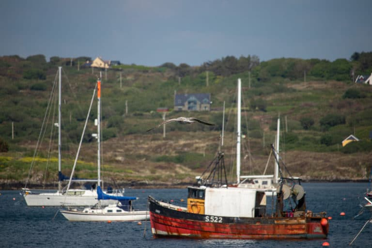 Bird flying over boats at Schull harbour West Cork