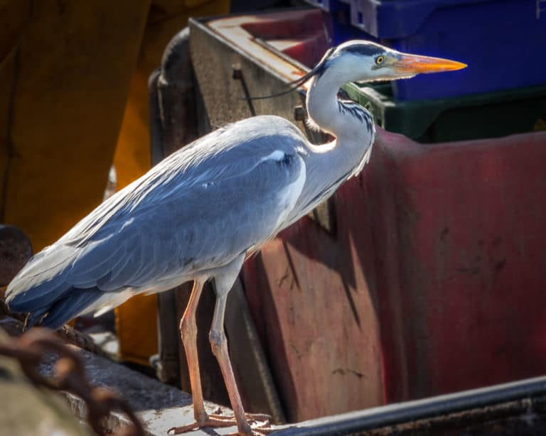 Heron in Schull West Cork on a fishing boat