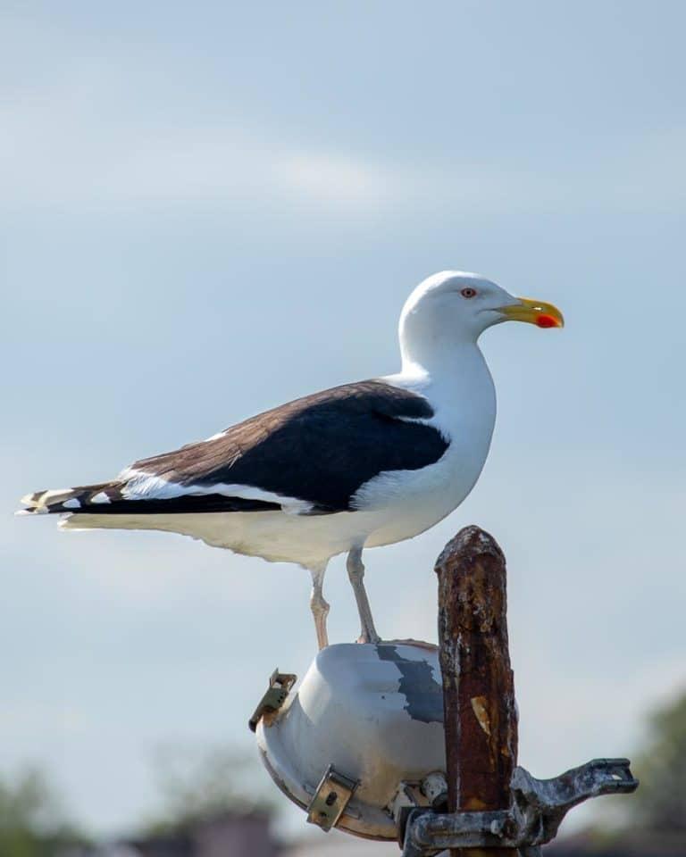 Seagull in Schull West Cork