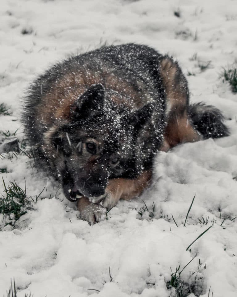 Buddy the Norwegian Elk-hound in the snow 2