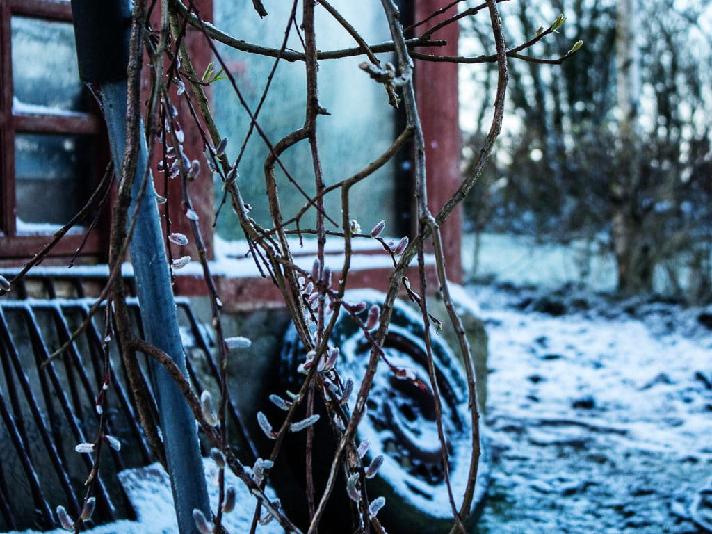 Flower buds and tire in snow West Cork